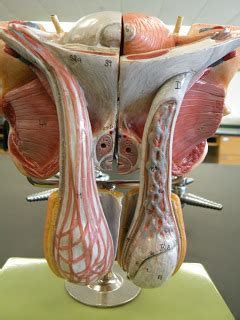 PSC: Anatomy and Physiology 2: Reproductive System Lab